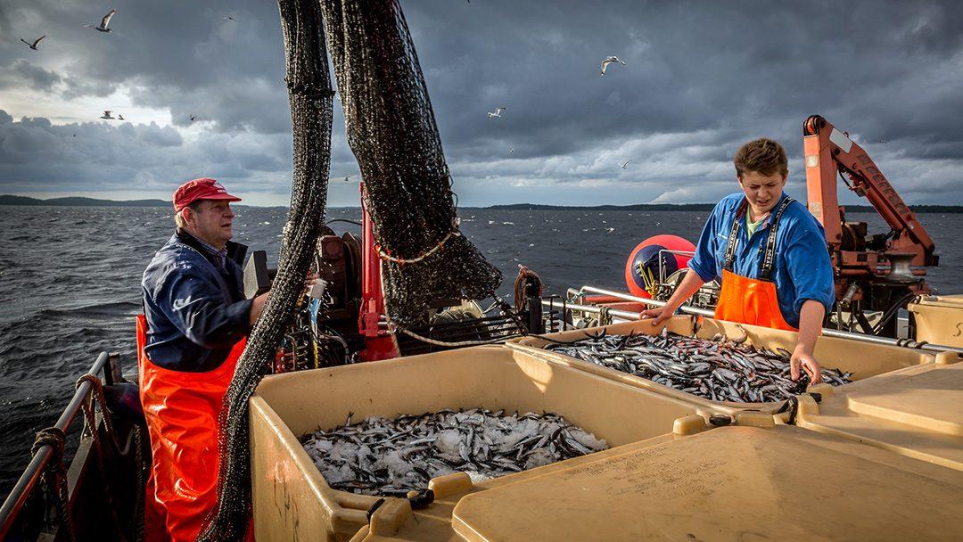 Jord- och skogsbruksministeriets föreslår: En miljon euro för att effektivisera användningen av underutnyttjad fisk